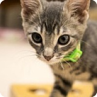 Adopt A Pet :: Stormy - McHenry, IL
