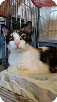 Domestic Shorthair Cat for adoption in Hanna City, Illinois - Flower-adoption pending
