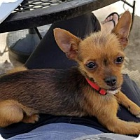Adopt A Pet :: Coyote - Houston, TX