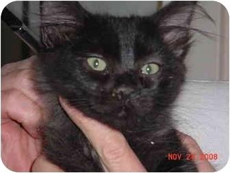 Domestic Mediumhair Kitten for adoption in Pendleton, Oregon - Little Man