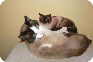 Snowshoe Cat for adoption in Clarksville, Indiana - Bentley