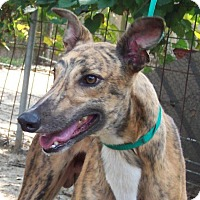 Adopt A Pet :: Hg Zelso - Knoxville, TN