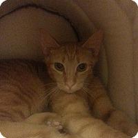 Adopt A Pet :: Honey Buns - West Dundee, IL