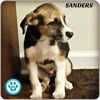 Collie Mix Puppy for adoption in Kimberton, Pennsylvania - Sanders