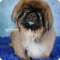 Adopt A Pet :: Pugsley - Inver Grove, MN