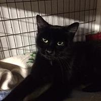 American Shorthair Cat for adoption in San Jose, California - Sadie