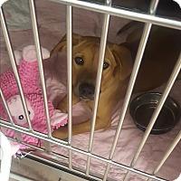 Adopt A Pet :: Sandie - St. Charles, MO
