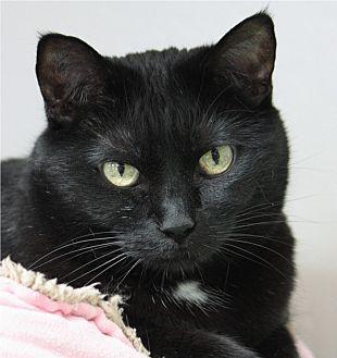 Domestic Shorthair Cat for adoption in San Carlos, California - Mama