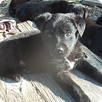 Adopt A Pet :: Sari - Rocky Mount, NC