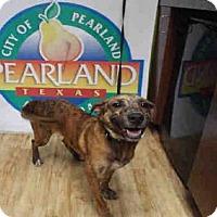 Adopt A Pet :: BRISTLE - Pearland, TX
