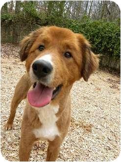 Golden Retriever Mix Dog for adoption in Hagerstown, Maryland - CJ Brown