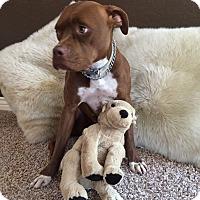 Adopt A Pet :: CHICA - Higley, AZ