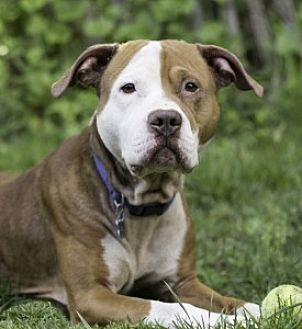 Pit Bull Terrier Mix Dog for adoption in Port Washington, New York - Odin