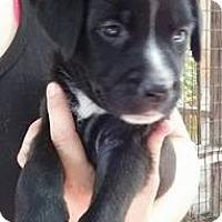 Adopt A Pet :: Pria - Gainesville, FL