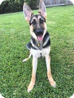 German Shepherd Dog Mix Puppy for adoption in Houston, Texas - Kia