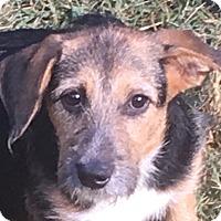 Adopt A Pet :: Rosetta - Plainfield, CT