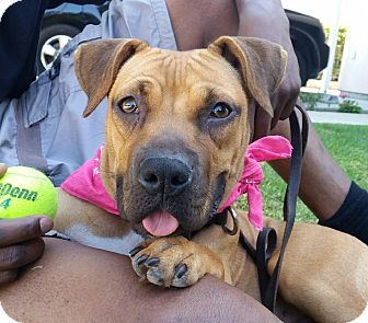 Boxer/Rhodesian Ridgeback Mix Dog for adoption in Van Nuys, California - *URGENT* Penelope