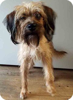 Wirehaired Fox Terrier Mix Dog for adoption in Hinsdale, Illinois - ADOPTED!!!   Watson