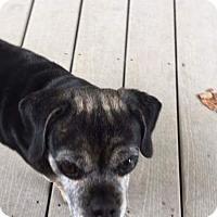 Adopt A Pet :: Misty - Burnham, PA