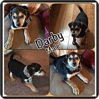 Adopt A Pet :: Darby in Ct - Manchester, CT
