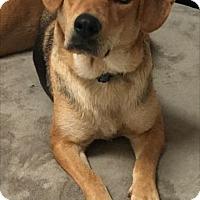 Shepherd (Unknown Type)/Beagle Mix Dog for adoption in Rockville, Maryland - Sabrinnah