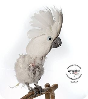 Cockatoo for adoption in Stratford, Connecticut - Madison