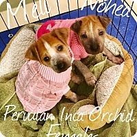 Adopt A Pet :: Nohea and Meli - Sparks, NV