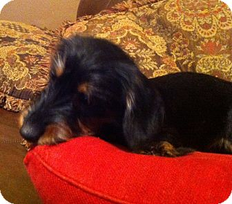 Dachshund Puppy for adoption in Somers, Connecticut - Greta - SUCH a darling girl!