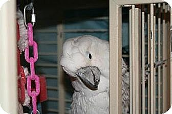 Cockatoo for adoption in Northbrook, Illinois - Coconut