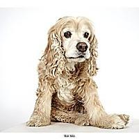 Adopt A Pet :: Max Man - New York, NY