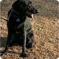 Adopt A Pet :: CHARLIE RINGO - Phoenix, AZ