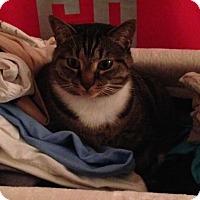 Adopt A Pet :: Tillie - Reston, VA