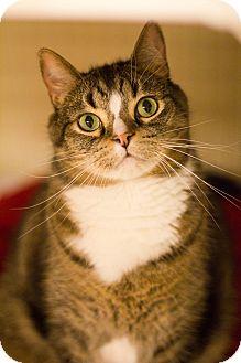 Domestic Shorthair Cat for adoption in Grayslake, Illinois - Hoosier