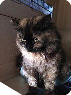 Domestic Longhair Cat for adoption in Monrovia, California - Delilah