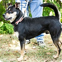 Shepherd (Unknown Type)/Labrador Retriever Mix Dog for adoption in Clarkesville, Georgia - Conner