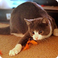 Domestic Shorthair Kitten for adoption in St. Louis, Missouri - Gray