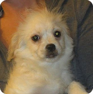 Poodle (Miniature)/Pekingese Mix Puppy for adoption in Greenville, Rhode Island - Peter