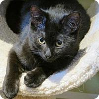 Adopt A Pet :: IRVING - 6-month Teen Kitten - HILLSBORO, OR
