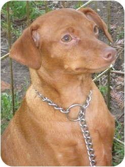 Miniature Pinscher Puppy for adoption in Sun Valley, California - puppy male