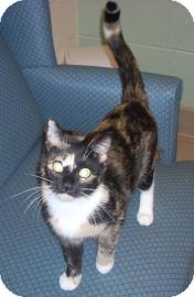 Domestic Shorthair Cat for adoption in Jackson, Michigan - Lydia