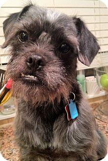 Brussels Griffon/Schnauzer (Miniature) Mix Dog for adoption in Troy, Michigan - Edwin