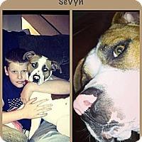 Adopt A Pet :: Sevyn - Dearborn, MI