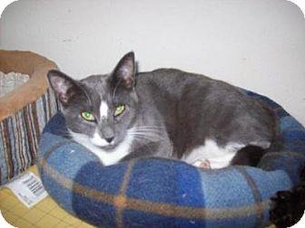 Domestic Shorthair Cat for adoption in Kelso/Longview, Washington - Tami