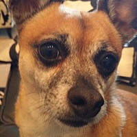 Chihuahua Mix Dog for adoption in Gilbert, Arizona - Chollo