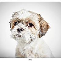 Adopt A Pet :: Pearl - New York, NY