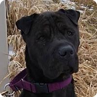 Shar Pei Mix Dog for adoption in Monroe, Michigan - Vidar