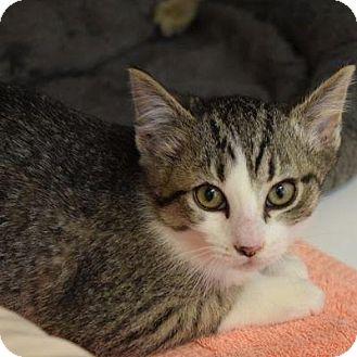Domestic Shorthair Cat for adoption in Denver, Colorado - Knight