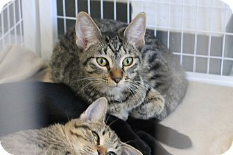 Domestic Shorthair Kitten for adoption in Covington, Louisiana - Innocent