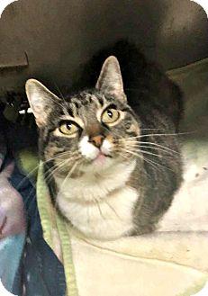 Domestic Shorthair Cat for adoption in Flint, Michigan - Pearl