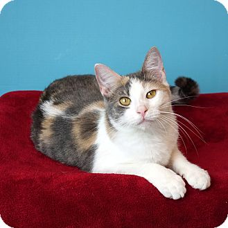 Domestic Shorthair Kitten for adoption in Columbia, Illinois - Riesling